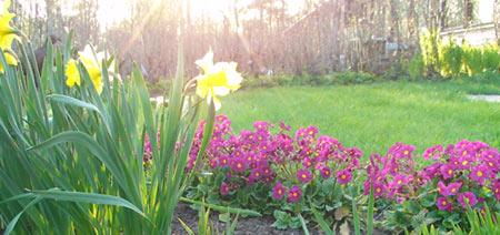 Narsissit ja kevätesikot ilta-auringossa